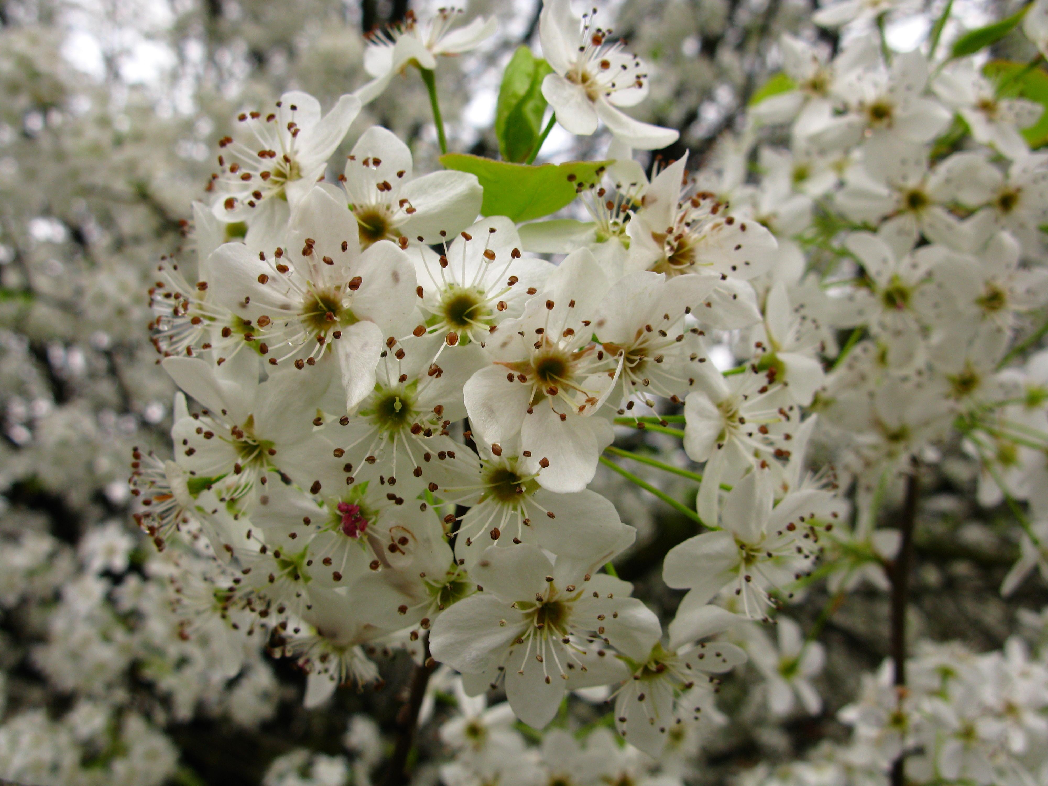 Filewhite pear flowers macro tree west virginia forestwander filewhite pear flowers macro tree west virginia forestwander mightylinksfo