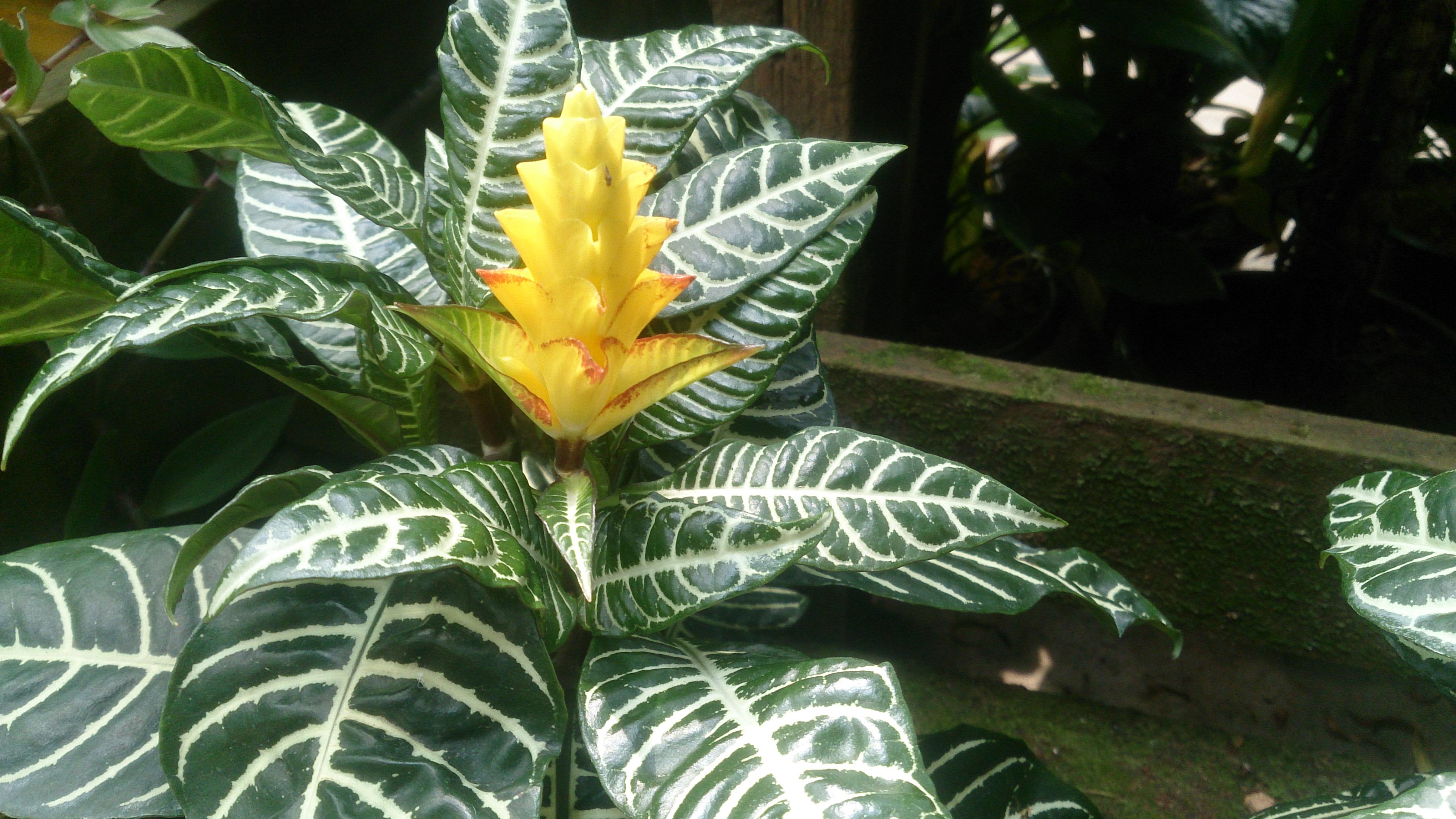 File:Zebra Plant (Aphelandra squarrosa).jpg