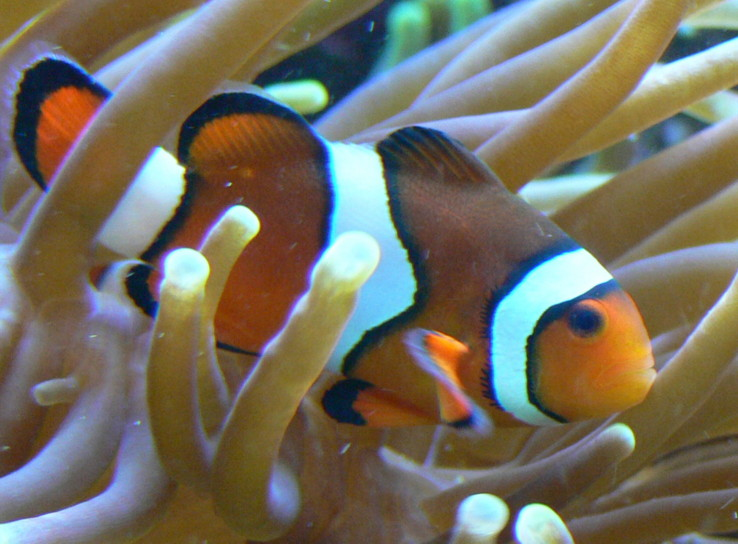 Damselfishes and Clownfishes - Part 2 - The Percula Clownfish