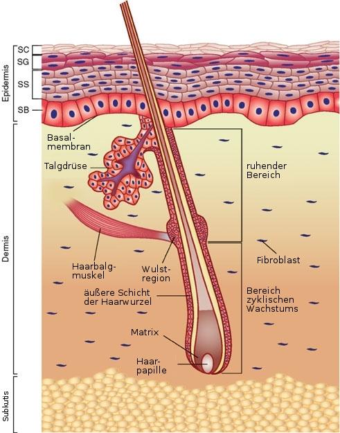 Haut haare funktion