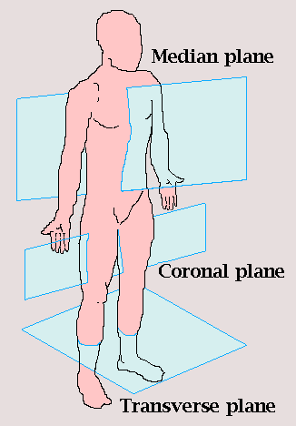 Picture Anatomical Position Human Body http://en.wikiversity.org/wiki/Anatomical_Terminology
