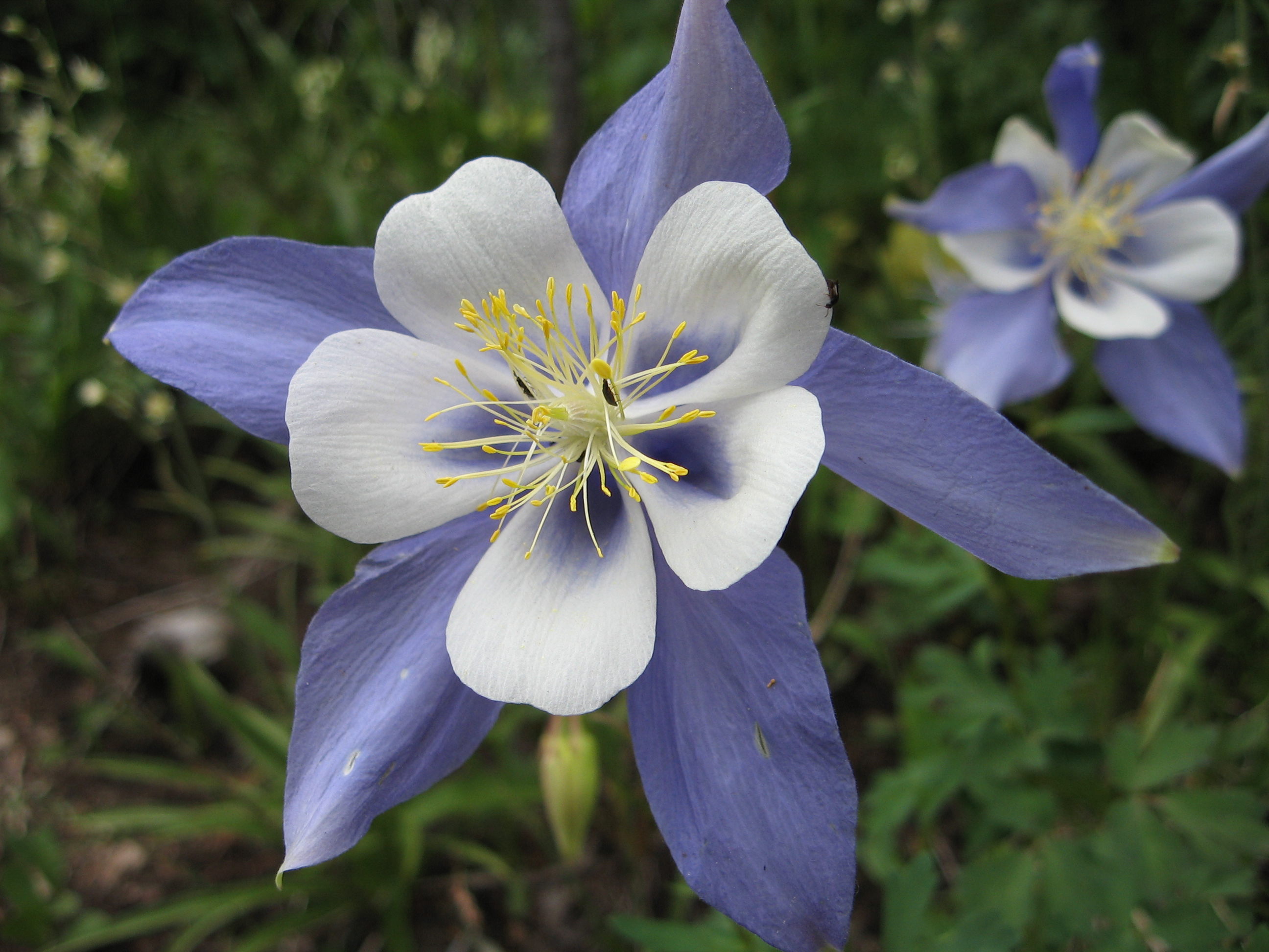 http://upload.wikimedia.org/wikipedia/commons/9/94/Aquilegia_caerulea.jpg