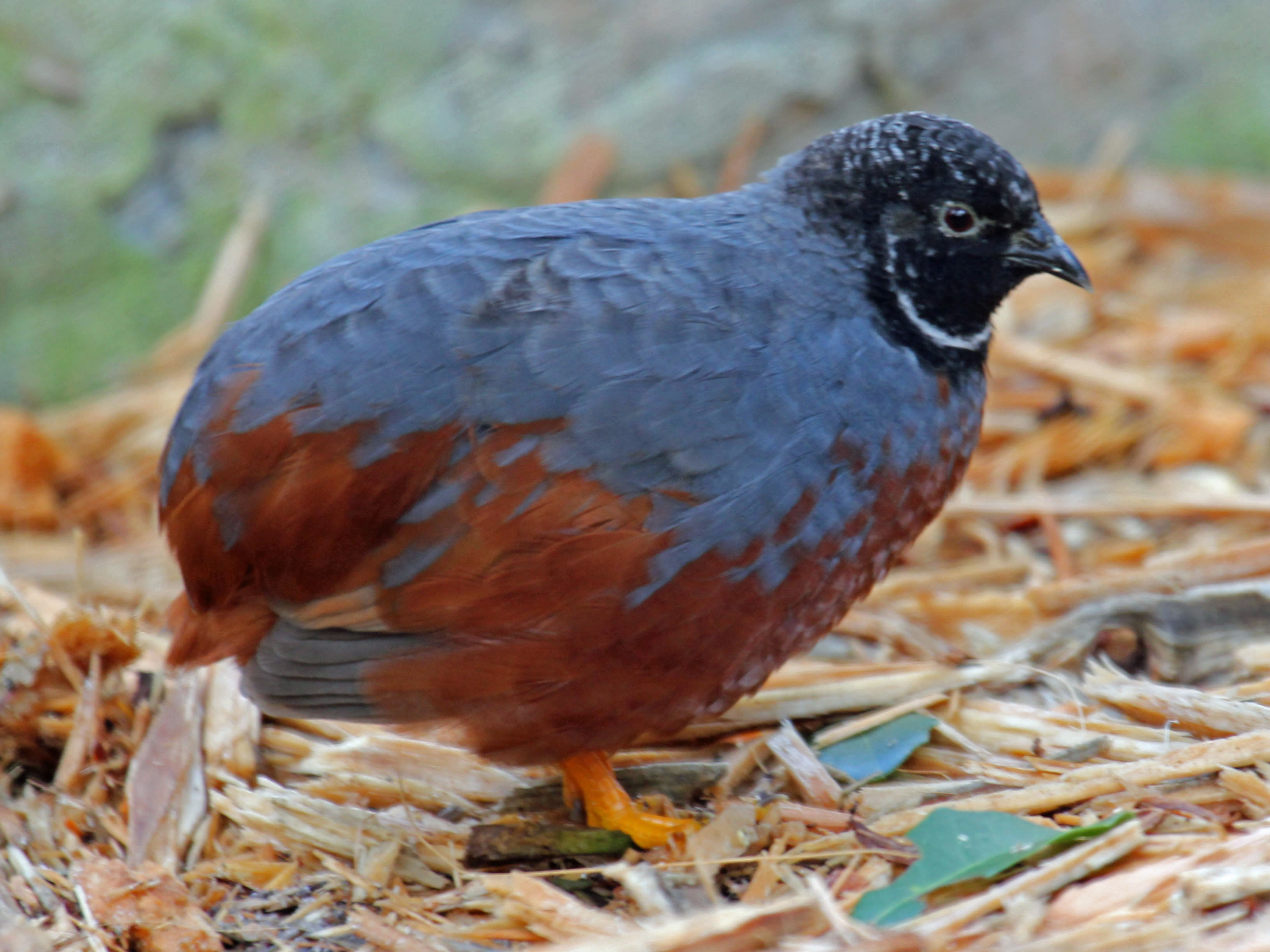 file asian blue quail rwd jpg wikimedia commons