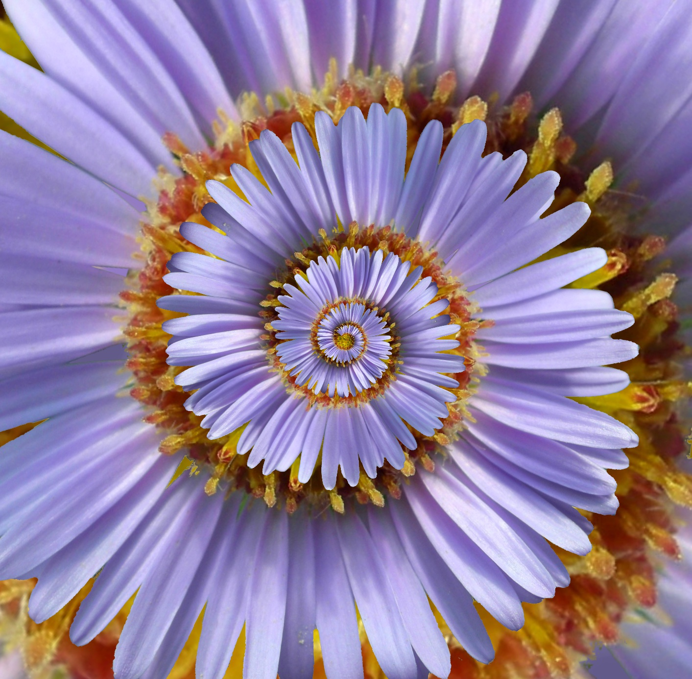 File:Aster Tataricus droste effect.jpg - Wikimedia Commons