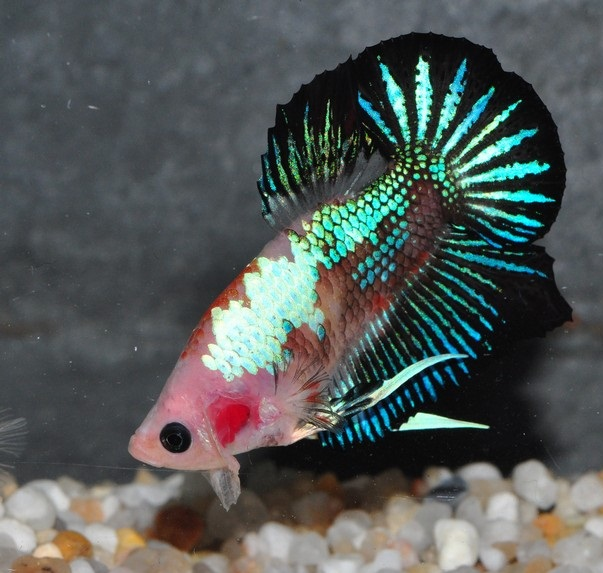 File:Betta PKHM Marble Tricolor3.jpg
