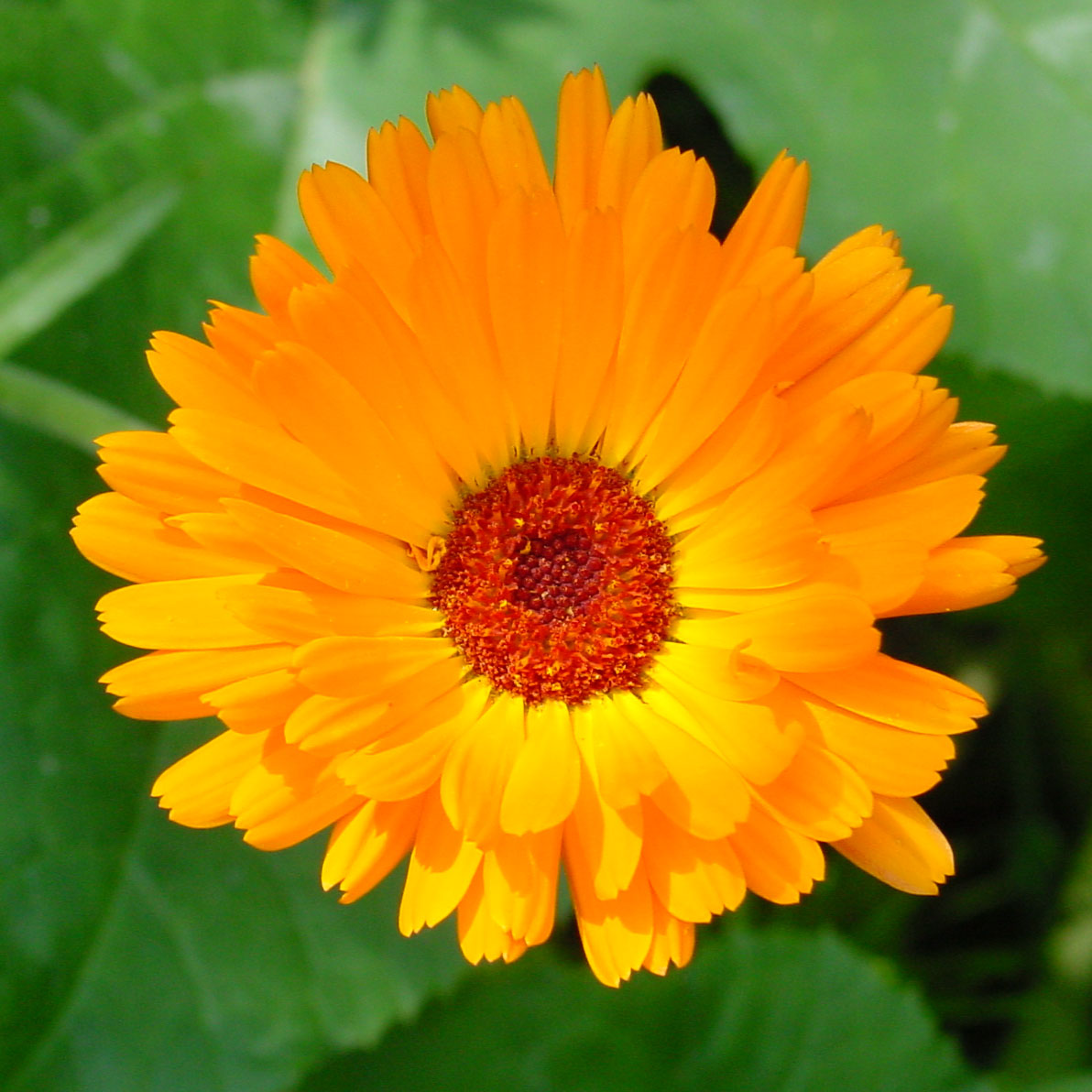Sofia s Secrets to Health and Wellness Herb Spotlight Calendula cal