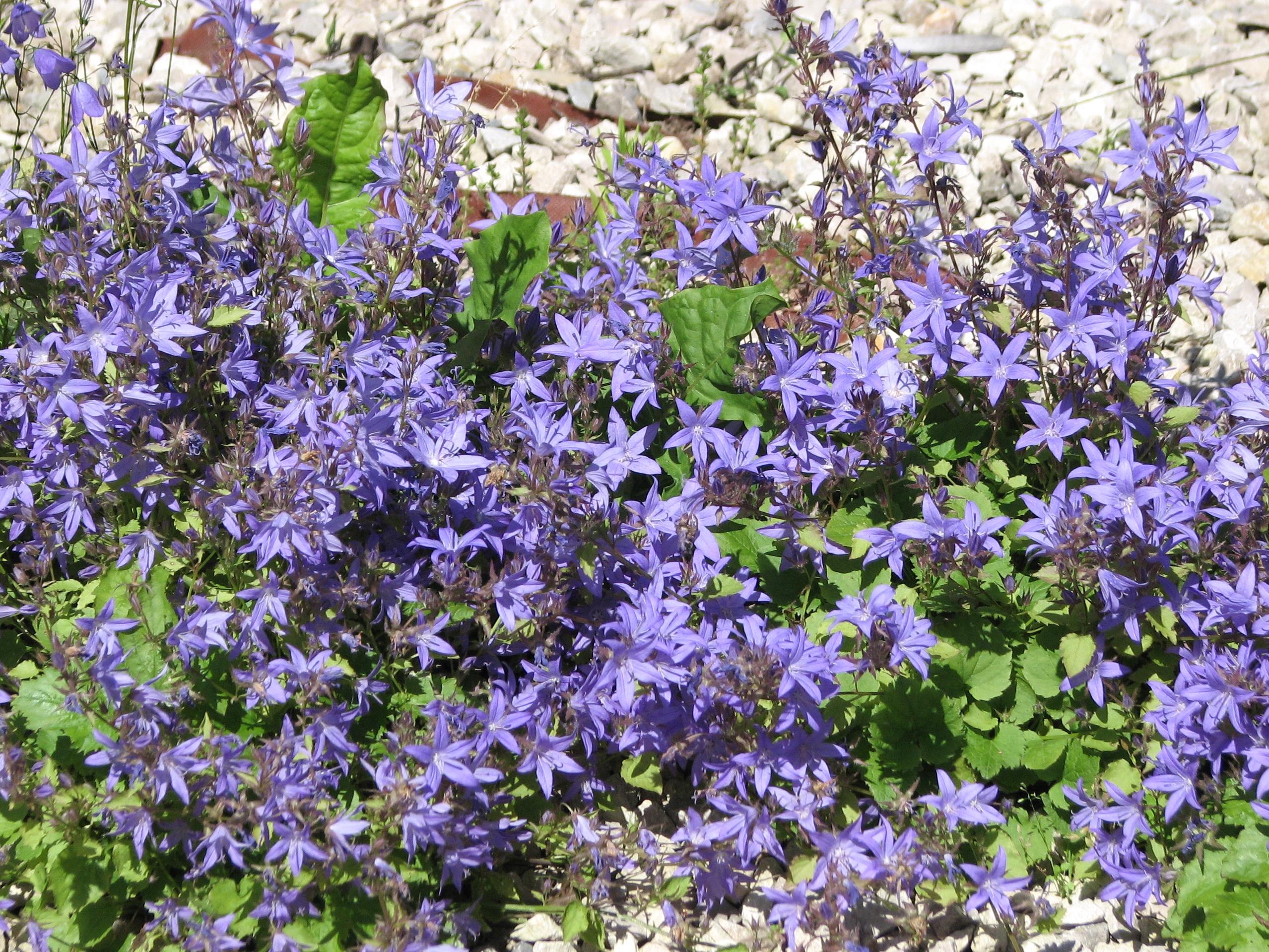 Campanula portenschlagiana - Planter campanule des murs ...