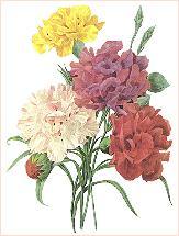 Carnations_redoute.JPG