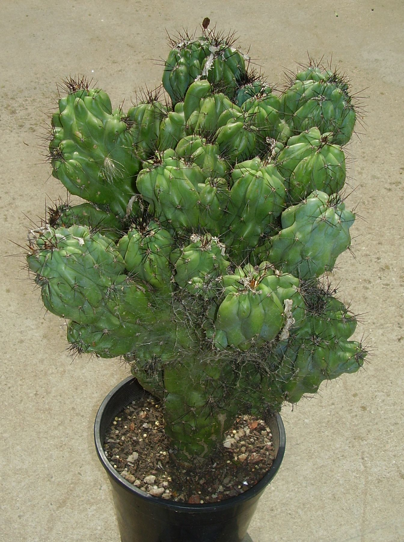File cereus peruvianus var wikimedia commons for Tipos de suculentas y sus nombres
