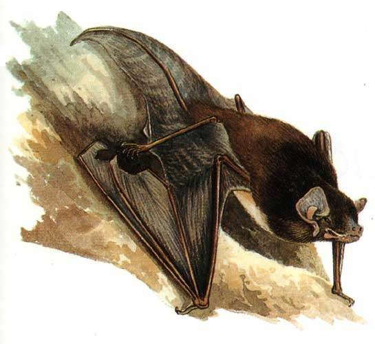 The average litter size of a Gould's wattled bat is 2