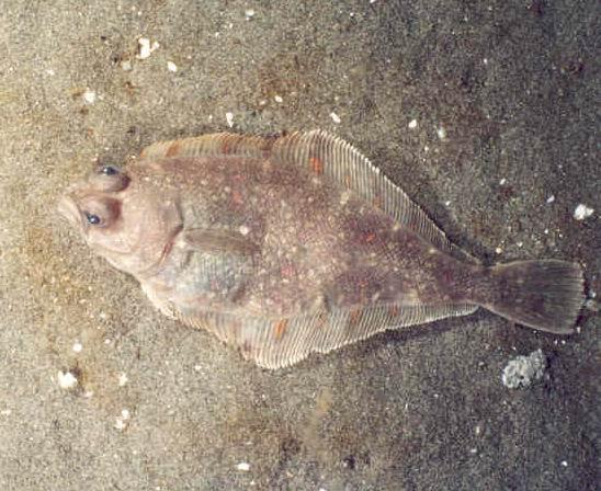 Image result for fine flounder wikimedia