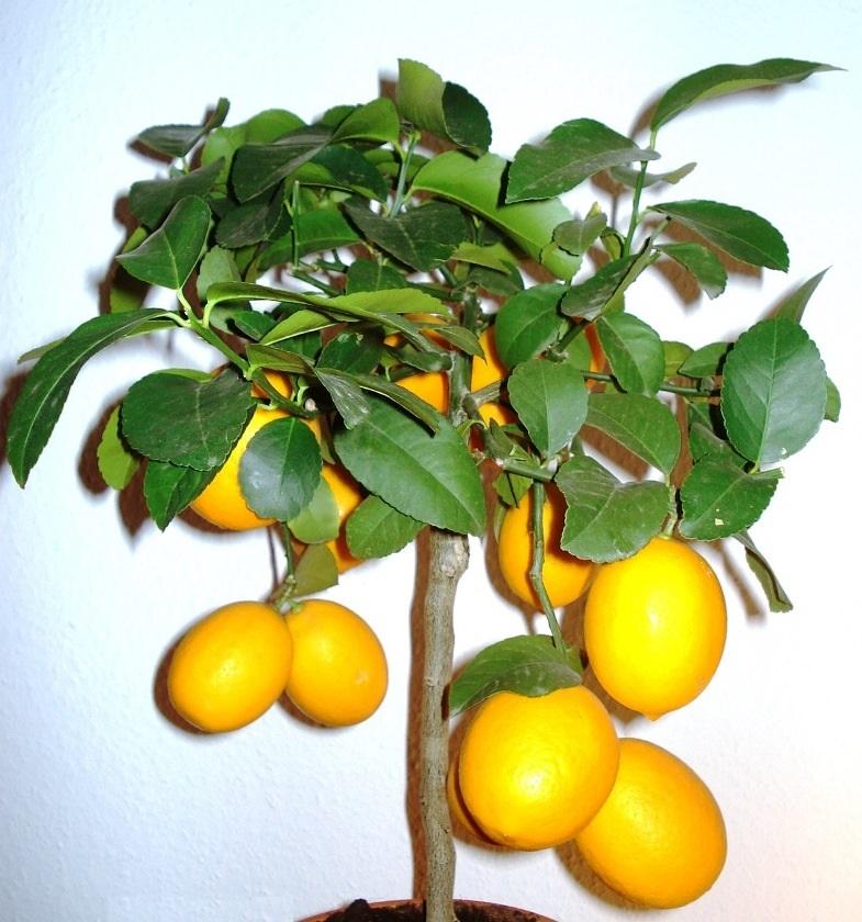 Ganz und zu Extrem Meyer-Zitrone – Wikipedia @QN_55