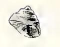 Coelotrochus oppressus 001.jpg