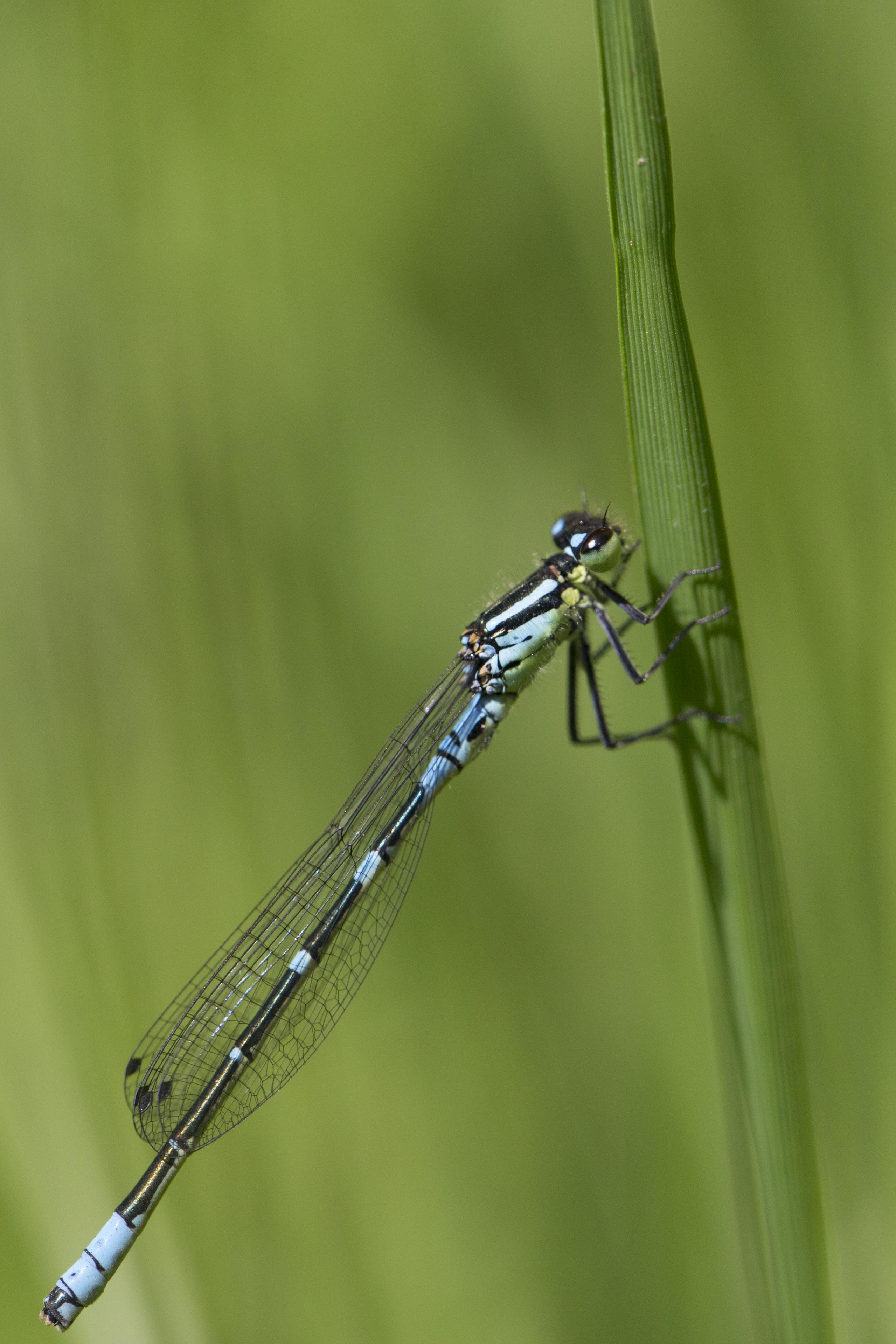 File:Coenagrion lunulatum, Maanwaterjuffer, Crescent Bluet 01.jpg -  Wikimedia Commons