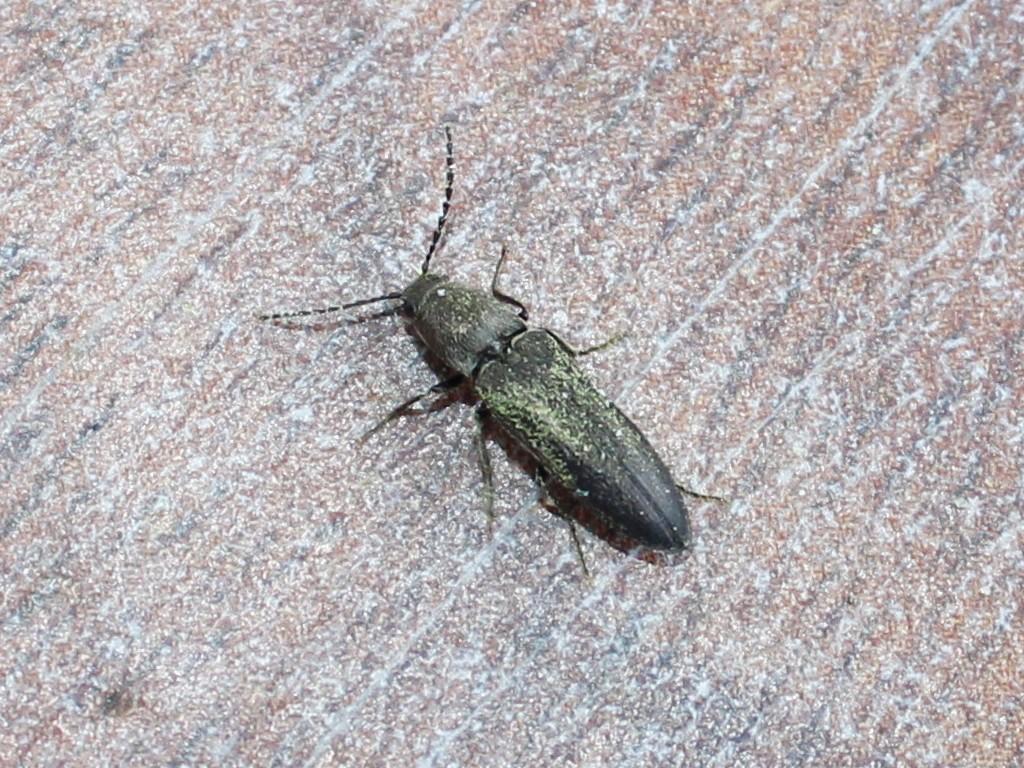 Crepidophorus mutilatus bedeckt mit Pollenstaub in Riga
