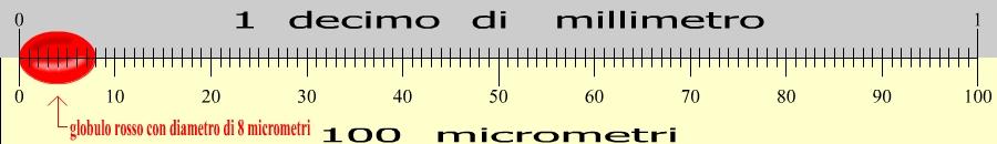 globulo rosso dimensioni in micrometri