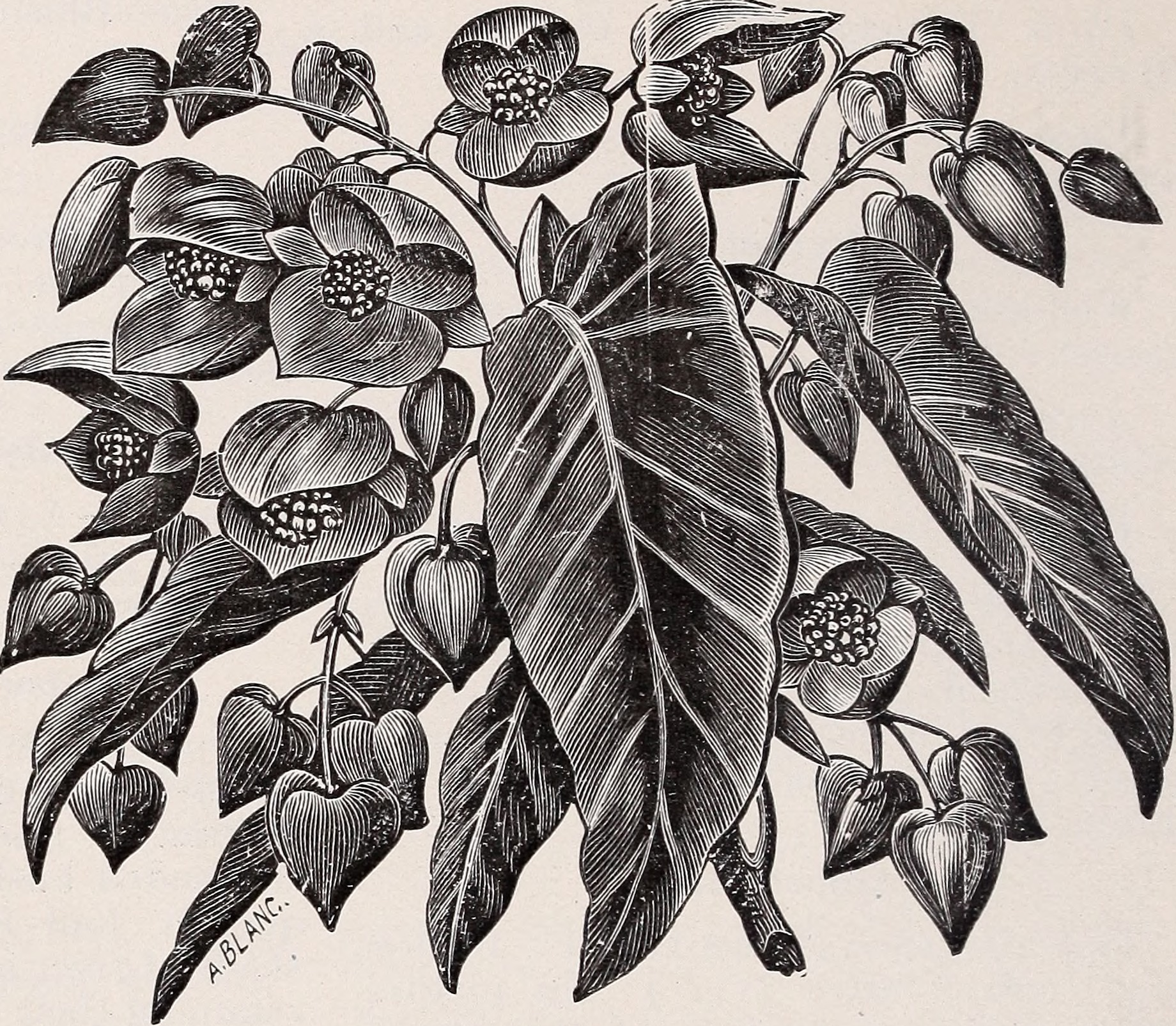 green leaves, oblong in sliape, with silvery markings. White flowers on tips of the stems. Price, 10 to 25 cents each. Sanguinea—Foliage red, with a deeper