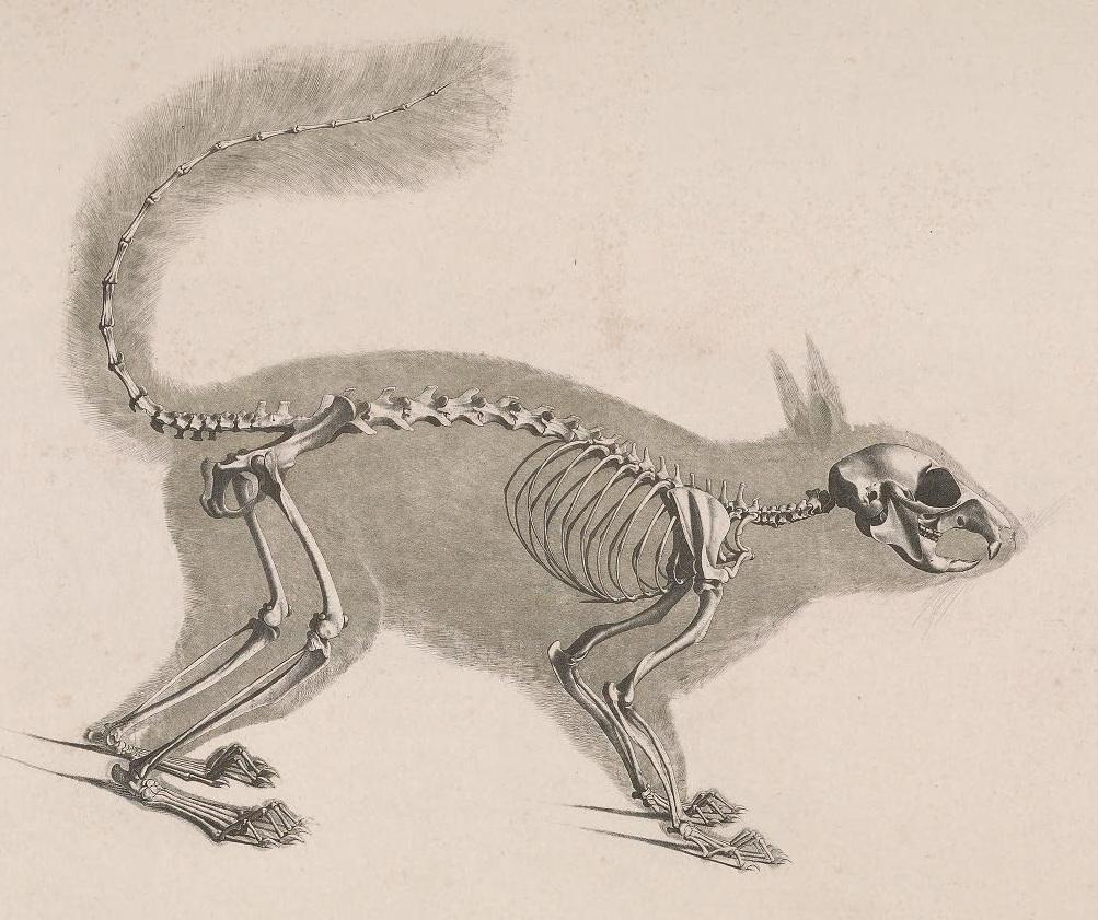 squirrel skeleton diagram anatomy organ with 28 more ideas rh kidsscience us Squirrel Organs Diagram Squirrel Anatomy