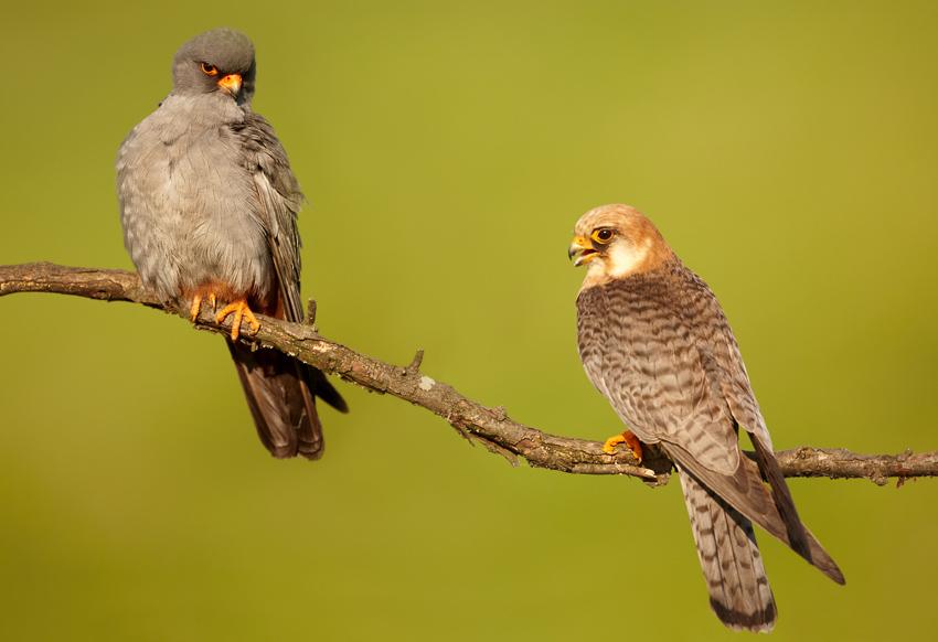 фото птицы кобчика
