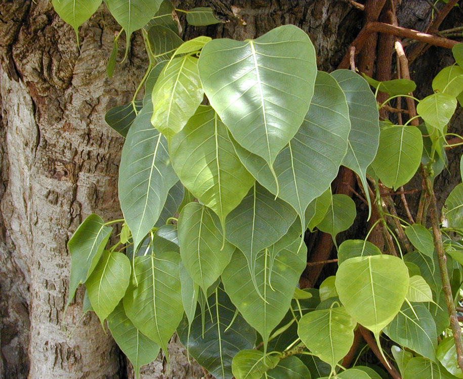 banyan tree leaf - photo #30
