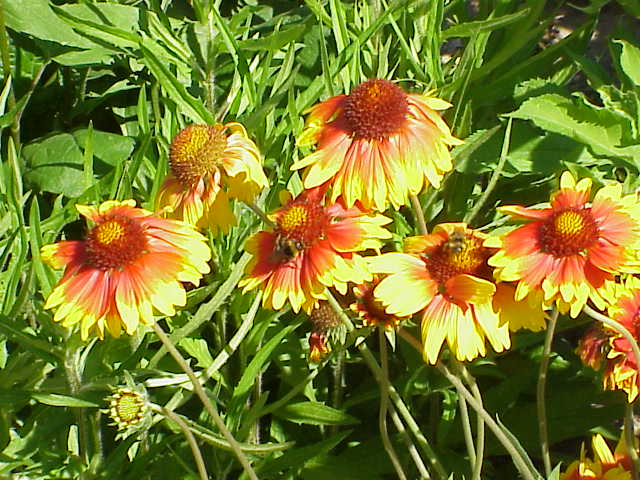 http://upload.wikimedia.org/wikipedia/commons/9/94/Gaillardia_aristata2.jpg