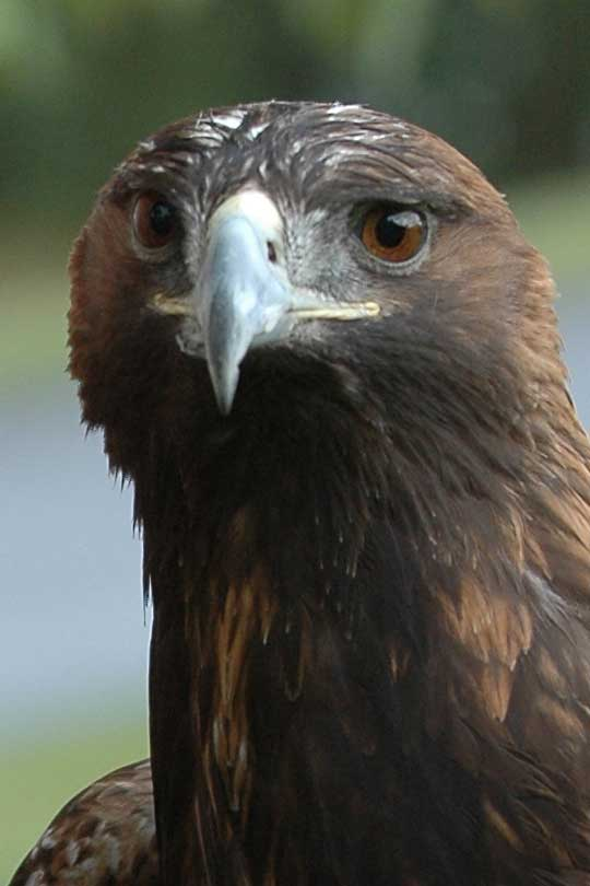 Pictures Of Golden Eagles. File:Golden-Eagle-Szmurlo.jpg