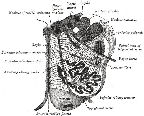 Raphe nuclei - Wikipedia