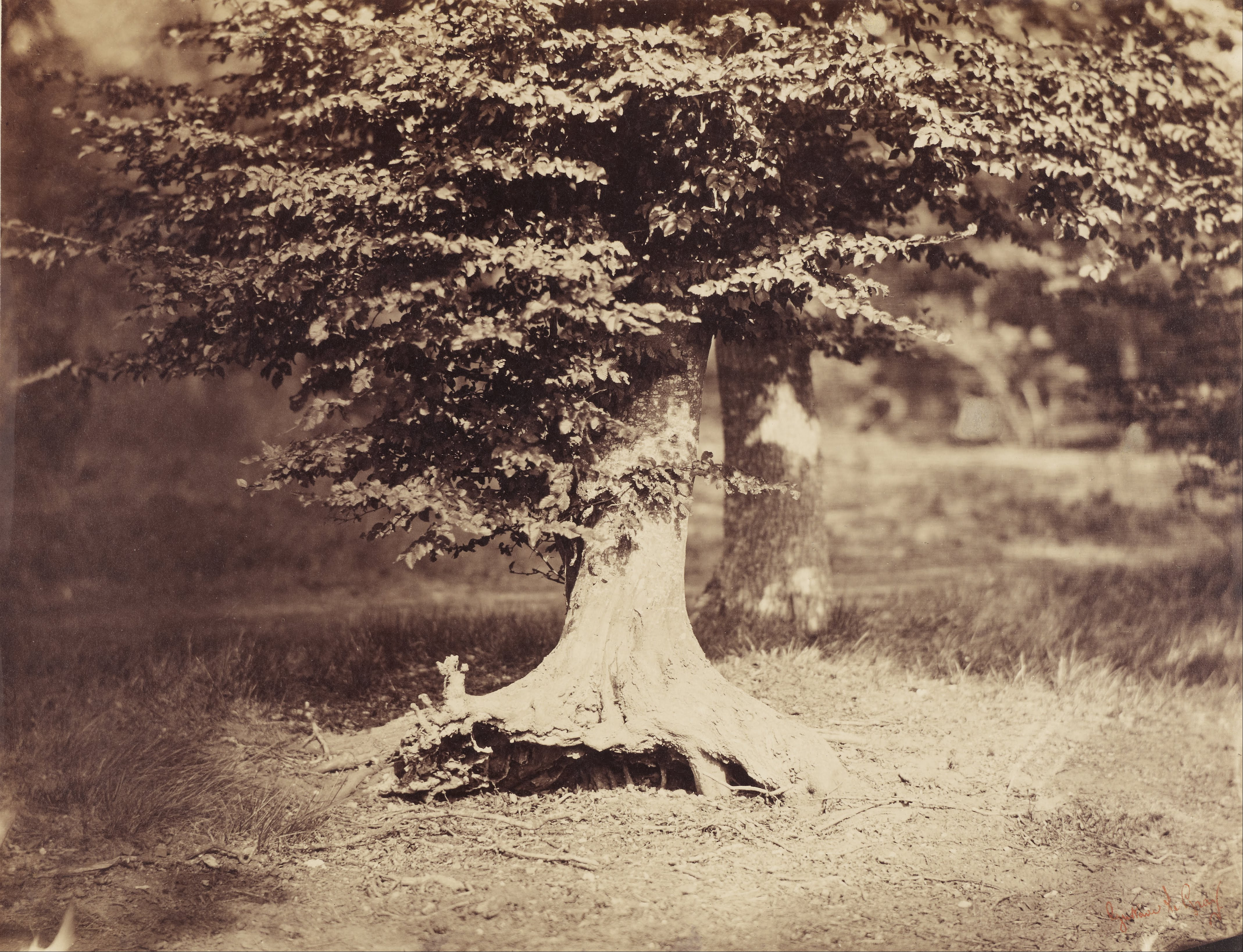 The Beech Tree, one of the most expensive photographs ever sold at auction.