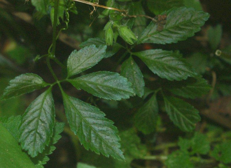 Gynostemma seeds