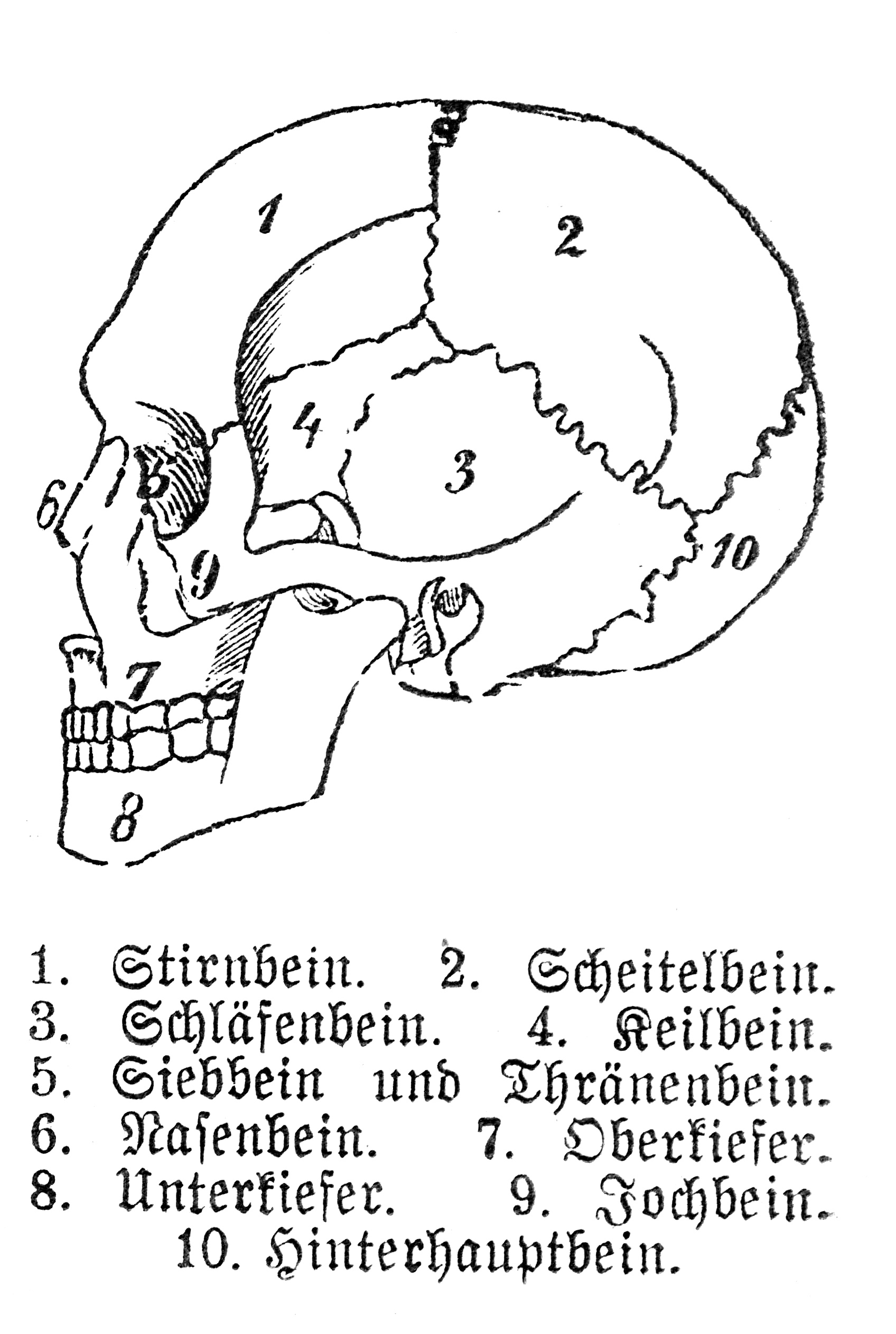 File:Human skull with german legend.jpg - Wikimedia Commons
