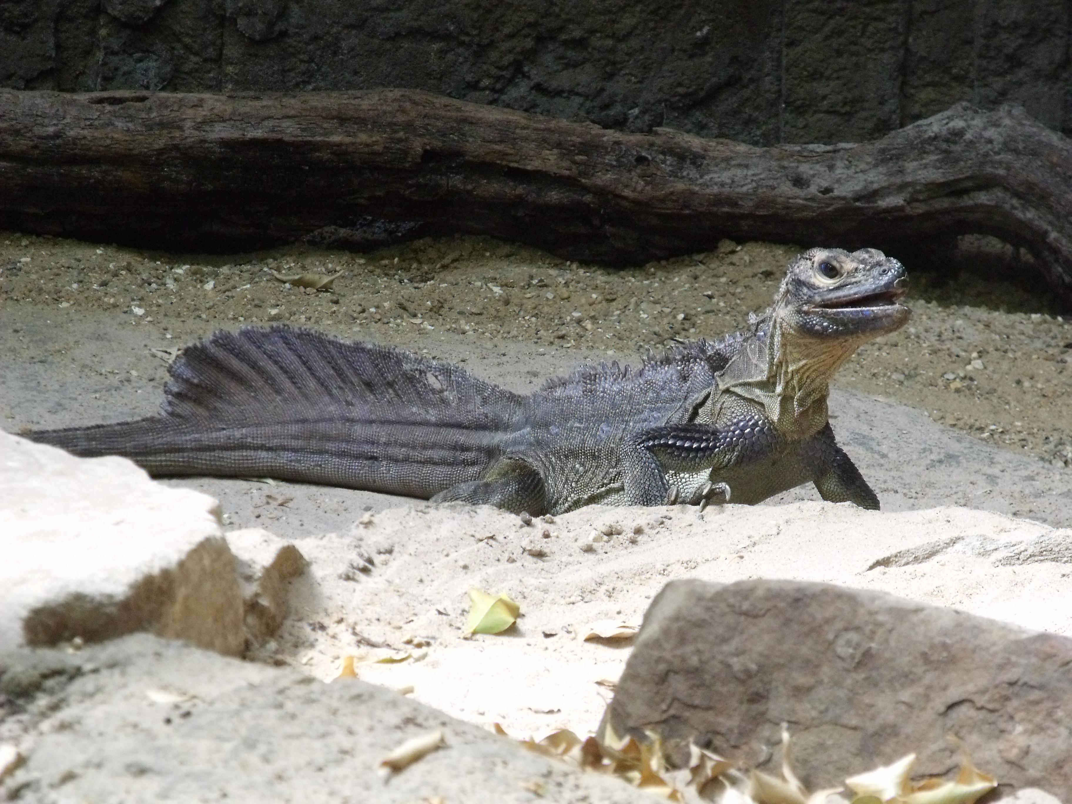 Image result for Hydrosaurus pustulatus
