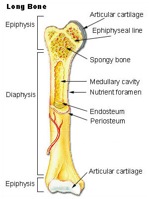 Parts of a long bone