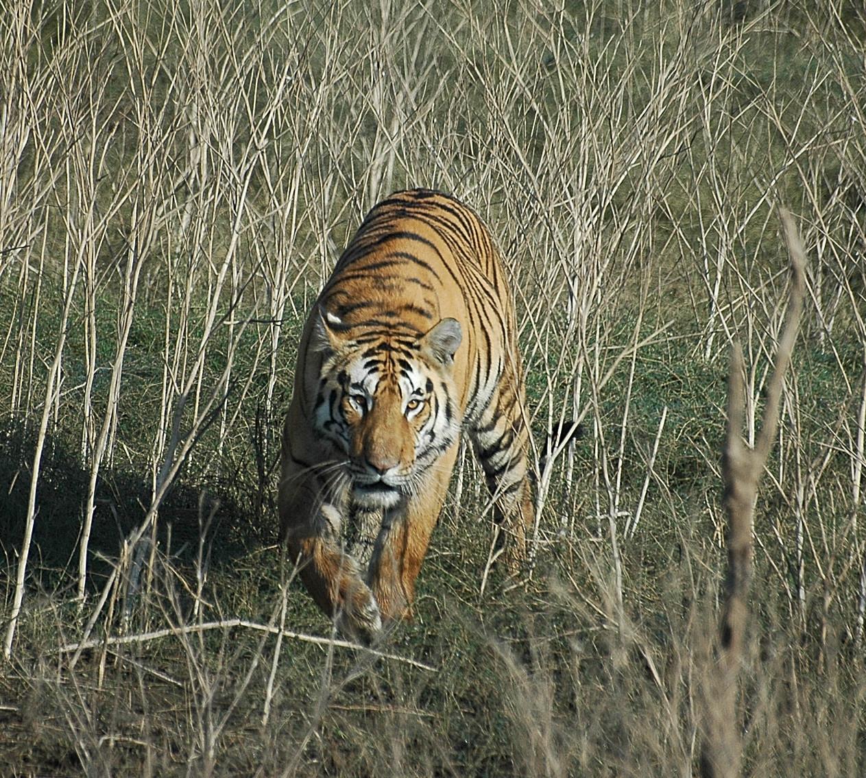 Tigre de Pench National Park