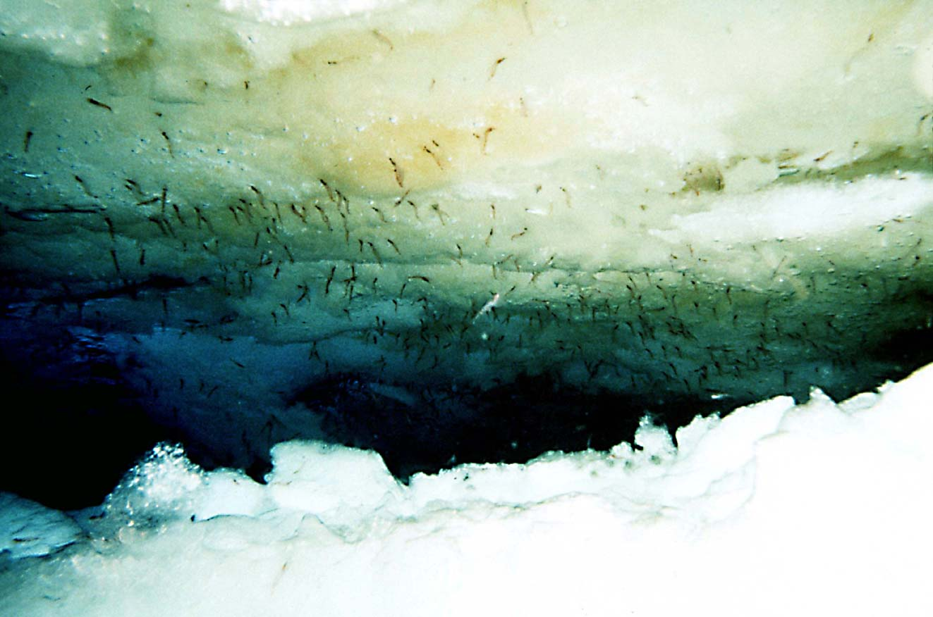 Antarctic krill scraping ice algae in Antarcti...