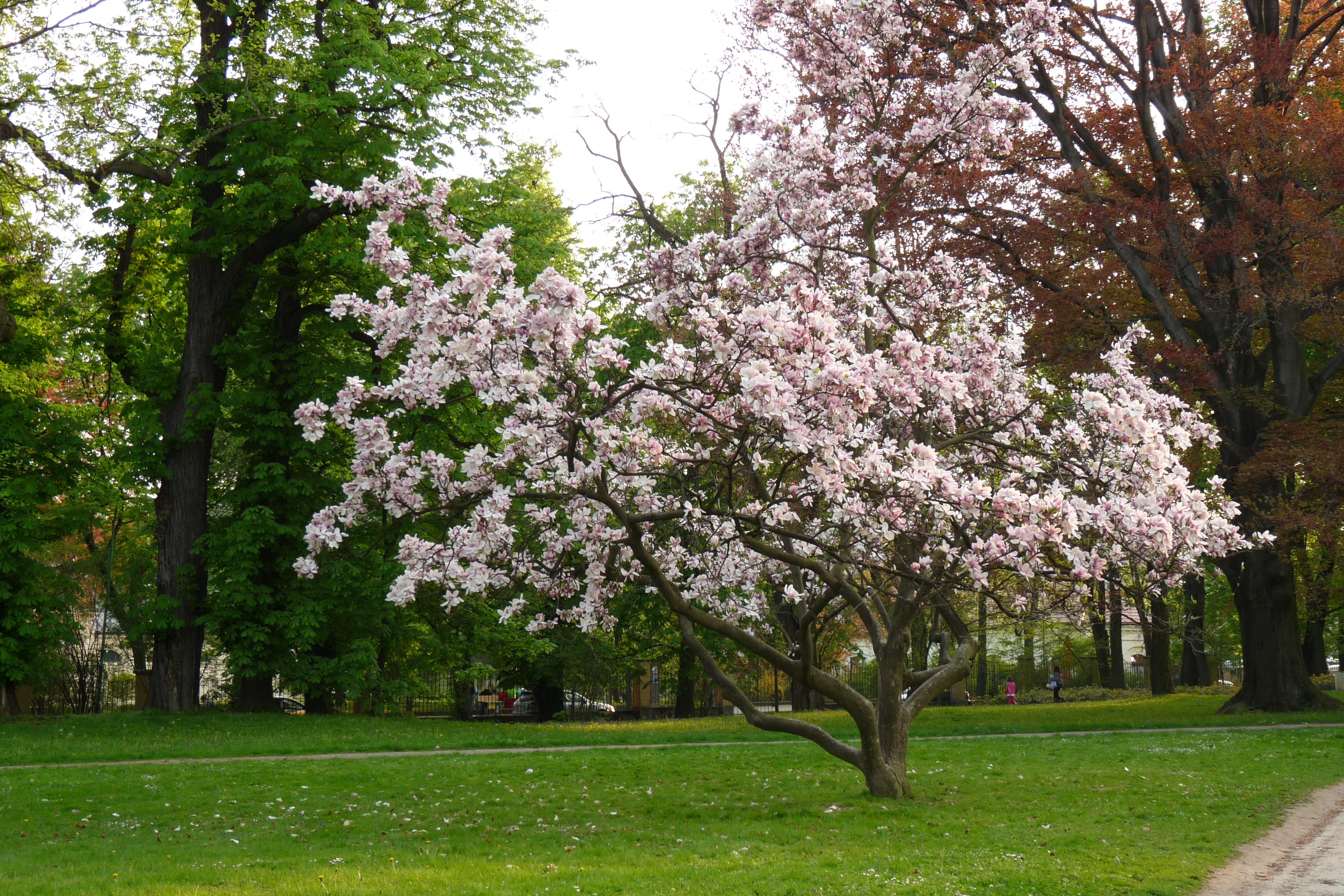 File magnolia soulangeana lancut kroton 001 jpg - Arboles para jardines pequenos ...