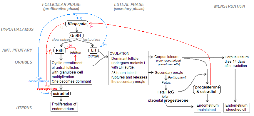 Hormonal regulation of menstrual cycle.