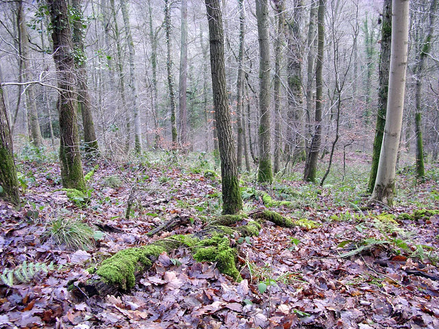 New Year in Mailscot Wood - geograph.org.uk - 302268