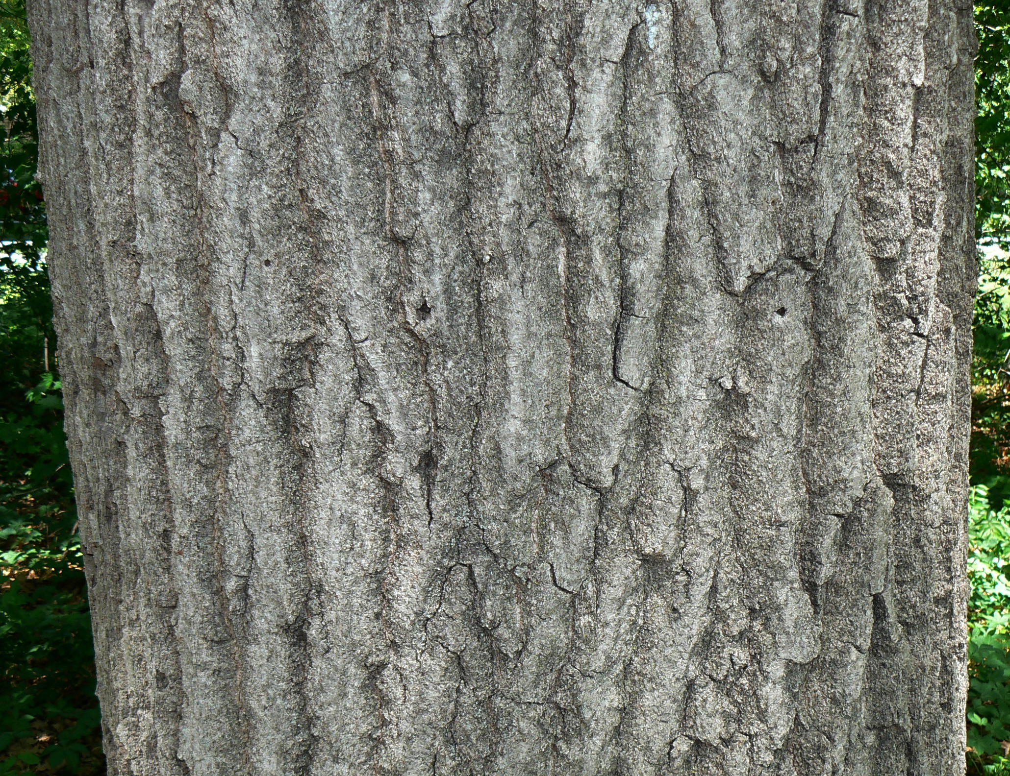 red oak black singles The currently accepted scientific name of black oak is quercus velutina or red (black) oak better for oak regeneration than group or single tree.