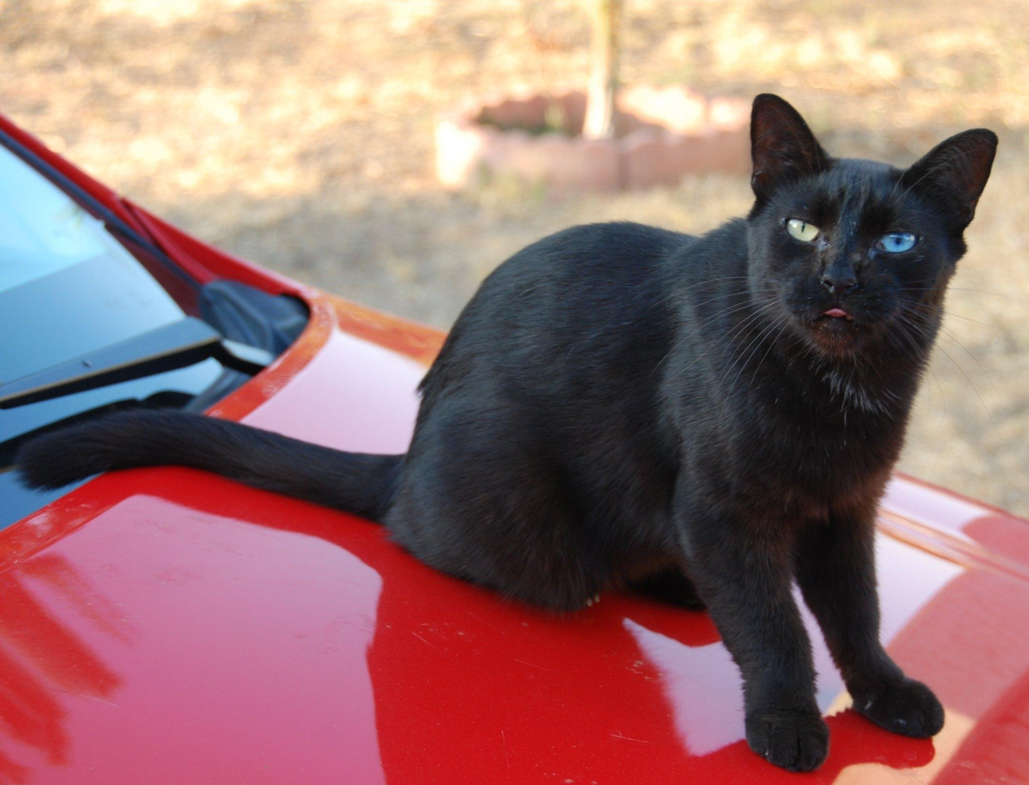 fileodd eyed black cat 02jpg wikimedia commons