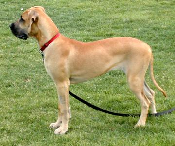 Image result for fawn color in dog