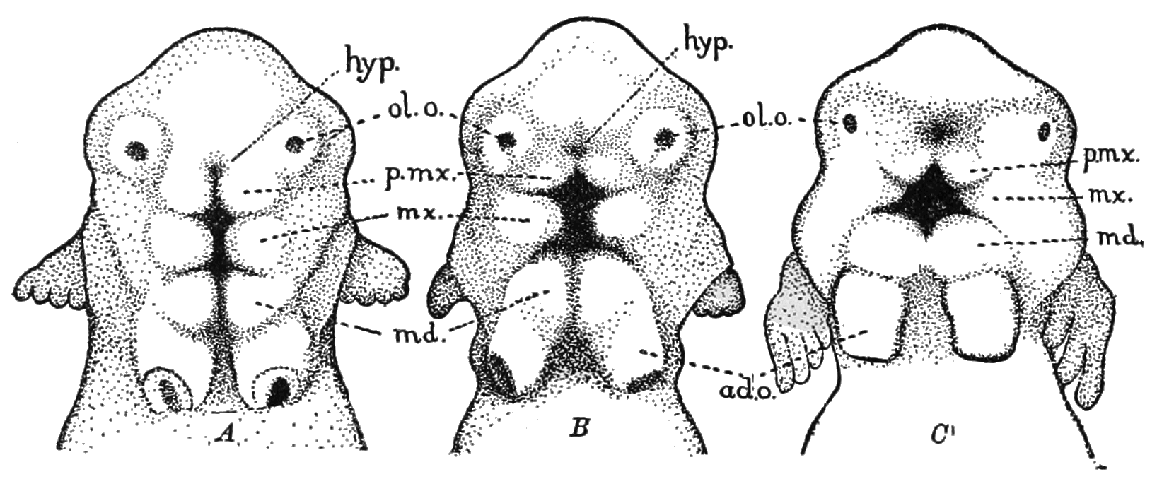 PSM_V82_D438_Head_of_an_embryo_frog.png
