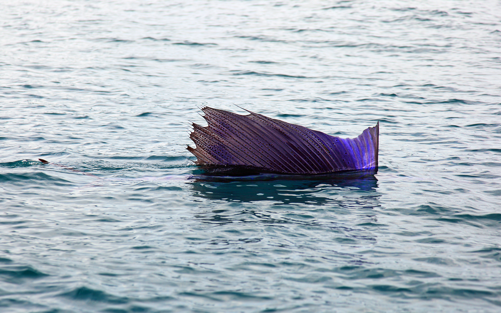 File pacific wikimedia commons for What is the fastest swimming fish