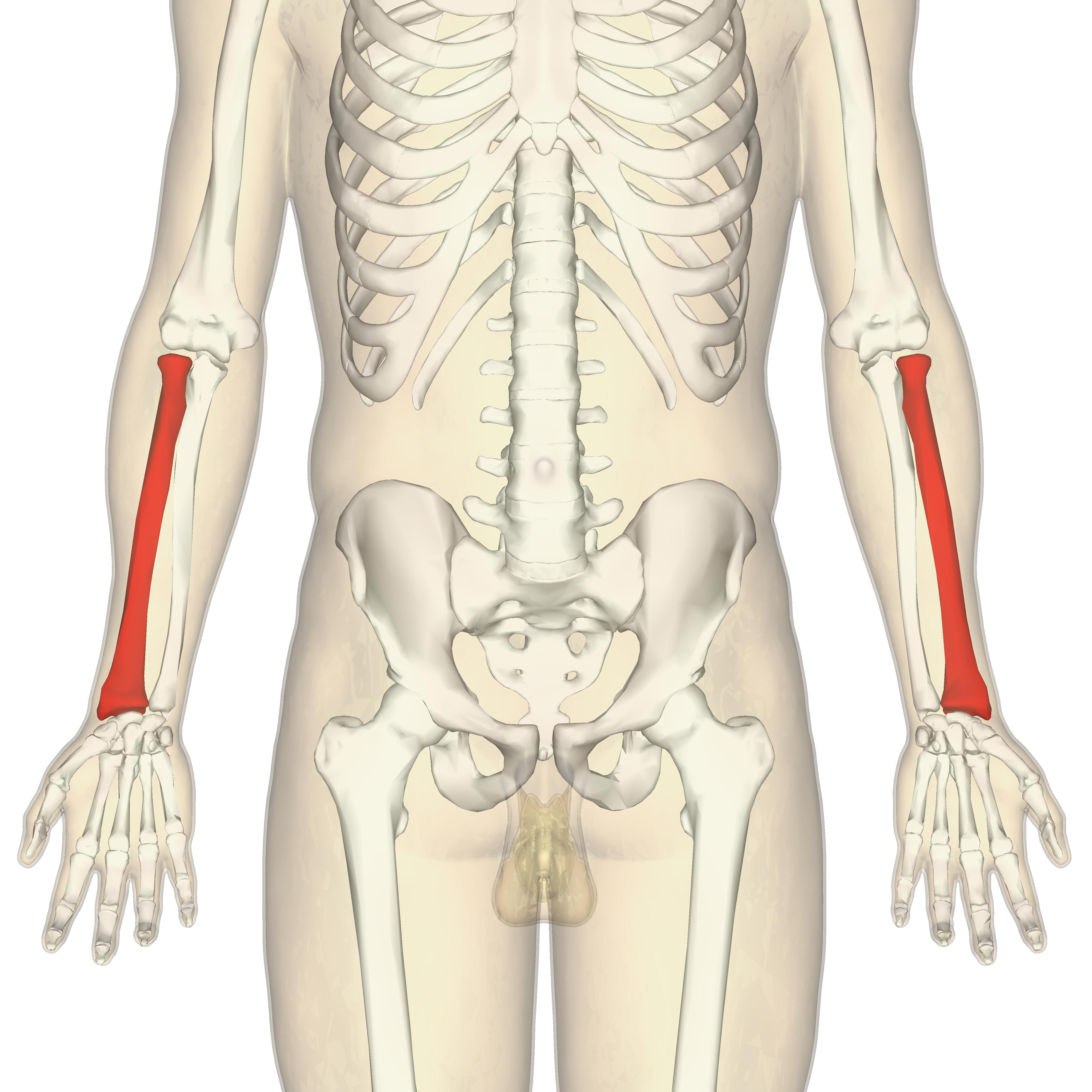 Radius (bone) - Wikiwand