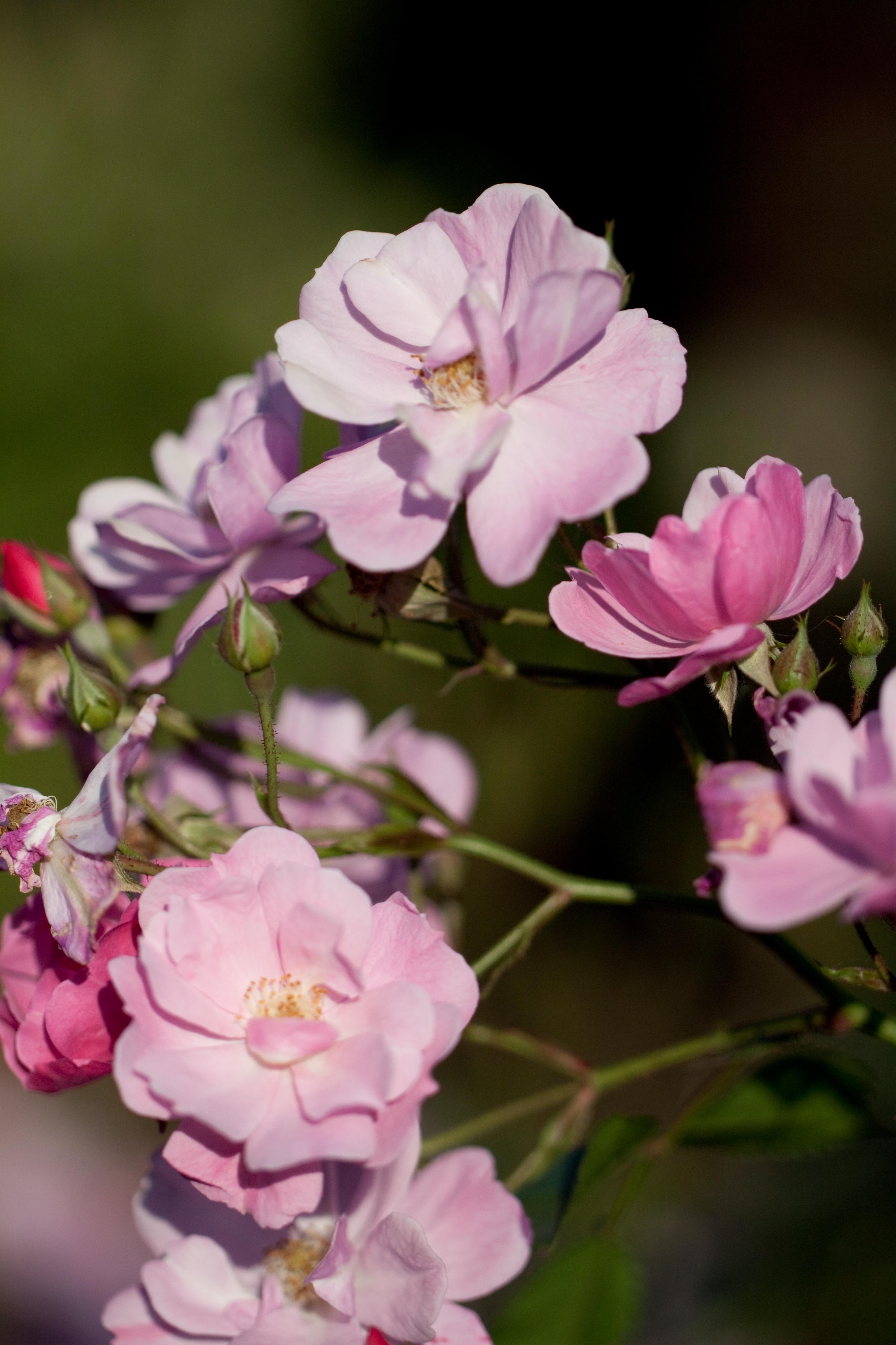 file rose lavender dream flickr. Black Bedroom Furniture Sets. Home Design Ideas
