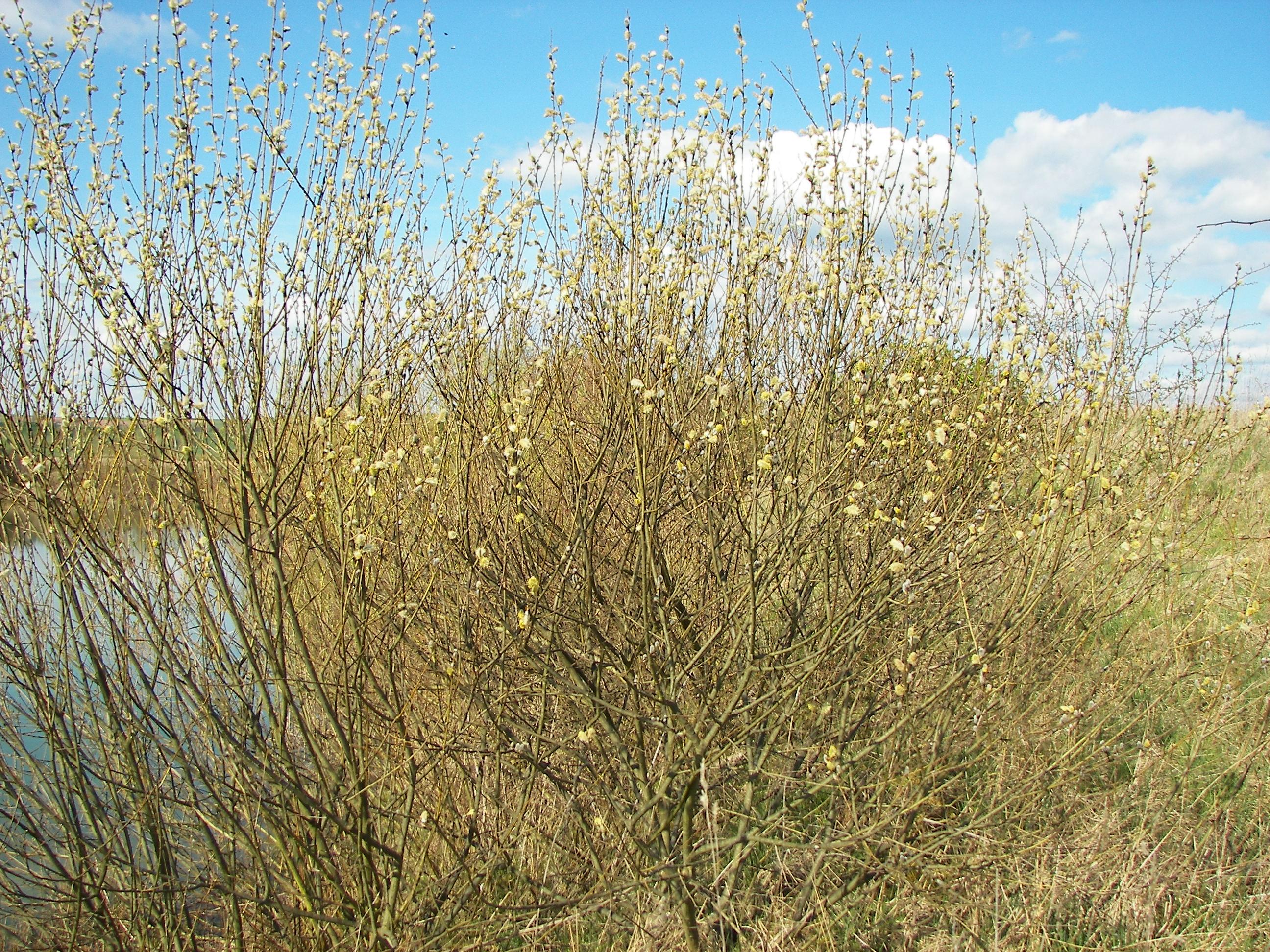 File:Salix caprea 019.jpg - Wikimedia Commons