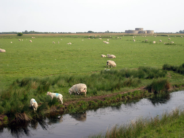 Sheep near Camber Castle - geograph.org.uk - 1342555
