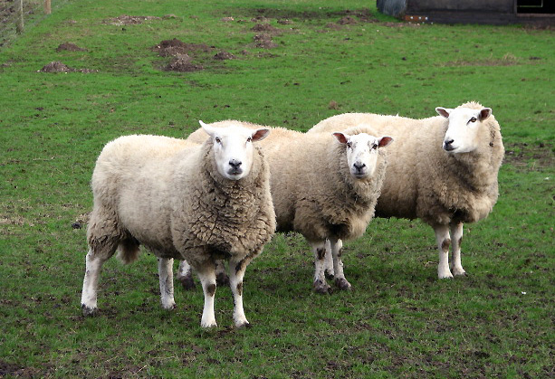 Three sheep - photo#1