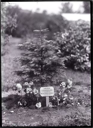 Tree planted by Winifred Jones