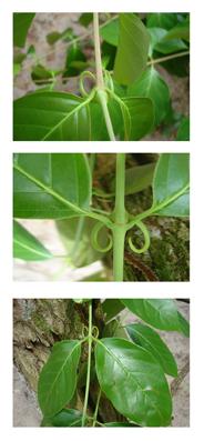 Uña de gato - Unacacroia tomentosa