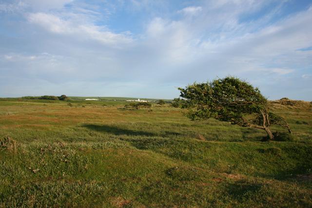 Wind-shaped hawthorn near Sandscale Haws - geograph.org.uk - 839753